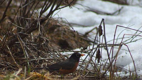 A robin in Hyalite