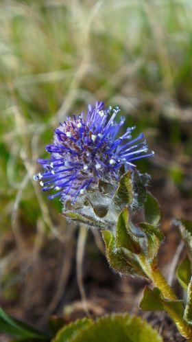Gallatin Flower