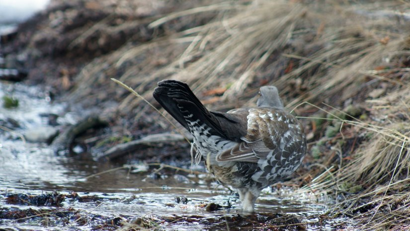 Grouse drinking