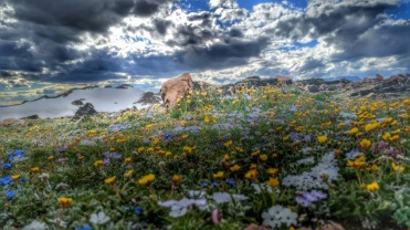 Flowers on the Beartooth Plateau