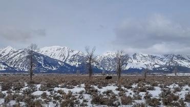A moose along side the road