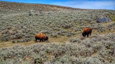 Bison and sage a true western scene