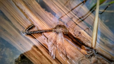 This dragonfly did not make it through the storm