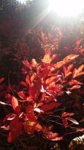 The evening sun light through the leaves to show the colors