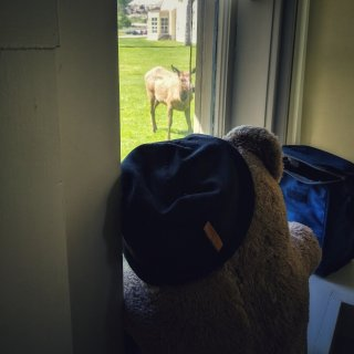 Meanwhile back at The Chittenden House Mr Bear keeps an eye on the new calves situation.