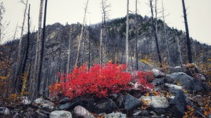 Firey red bush
