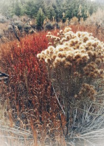 Rabbit brush with brome in the backdrop